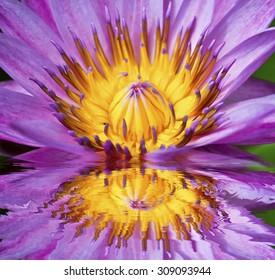 Beautiful purple lotus flower floating in water