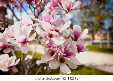 Beautiful purple magnolia flowers in the spring season on the magnolia tree. Blue sky background. Magnolia bloom.