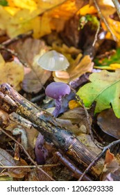 Beautiful purple mushroom in the autumn forest. Amethyst deceiver (Laccaria amethystina)