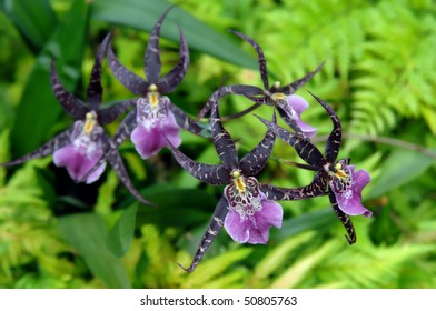 Beautiful purple orchid blossoms in a botanical garden on the Big Island of Hawaii.  Spider like petals are framed by lush green fern foliage.