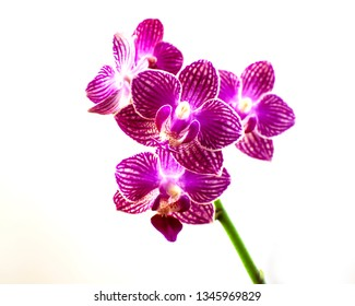 Beautiful purple orchid blossoms isolated on white background