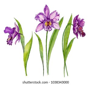 Beautiful purple orchid (Cattleya) flower on a stem with green leaves. Isolated on white background. Set of three flowers. Watercolor painting. Hand drawn.