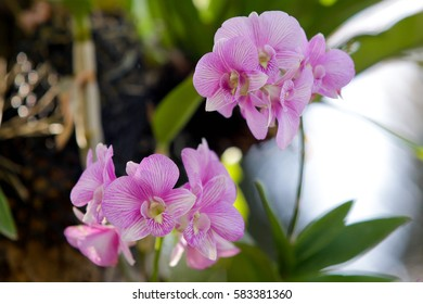 Beautiful purple orchid flowers on a branch in a garden of orchids close up.