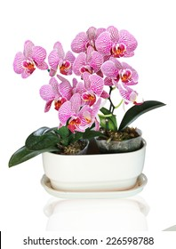 Beautiful purple orchid growth on Pot - phalaenopsis