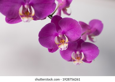 Beautiful purple orchid hanging in front of white background.