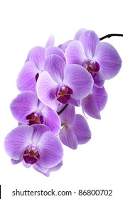 Beautiful purple orchid  isolated on white background