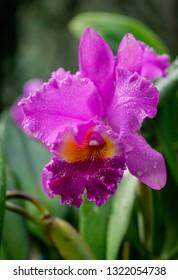 Beautiful purple orchid in the jungle