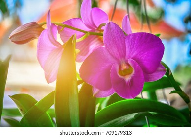 Beautiful purple orchid.purple orchid.Thai Beautiful purple orchid