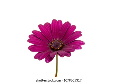 beautiful purple osteospermum or african daisy pink flower isolated on white