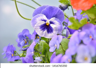 Beautiful purple pansy flower with selective focus and blurred pansies and orange poppy flowers. Colorful summer flowerbeds with violet pansy and orange poppy. Bouquet of bright spring flowers