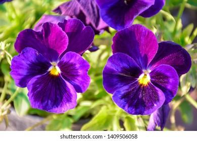 Beautiful purple Pansy Flowers at gayatri ashram in haridwar