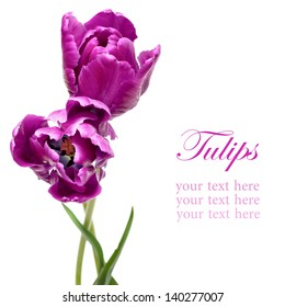 Beautiful purple parrot tulips isolated on white