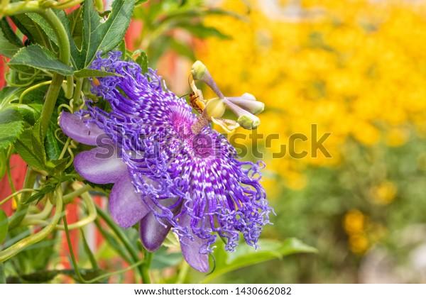 beautiful-purple-passionflower-host-plan