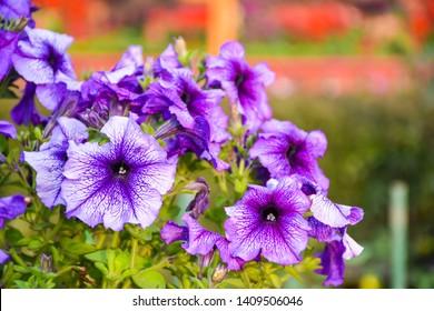 Beautiful purple petunia Flowers at gayatri ashram in haridwar.