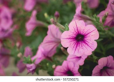 Beautiful purple Petunias (Petunia hybrida) in garden soft focus