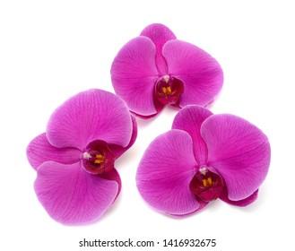 beautiful purple Phalaenopsis orchid flowers, isolated on white background