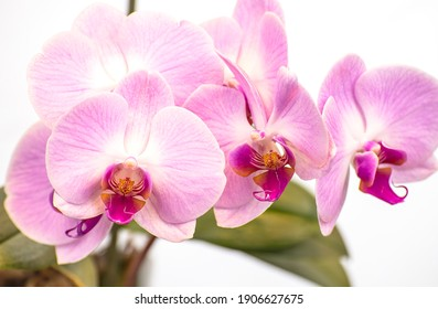 Beautiful purple Phalaenopsis orchid flowers, isolated on white background. Moth dendrobium orchid. Multiple blossoms. Flower in bloom. Beautiful details of tropical floral visuals.