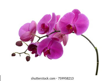 beautiful purple Phalaenopsis orchid flowers, isolated on white background