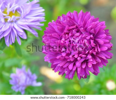 Asters Garden Flower Summer Purple Pretty Picturesboss