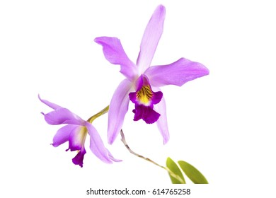 a beautiful purple pink elegant Cattleya laelia anceps botanical orchid plant flower closeup macro with leaves isolated on white