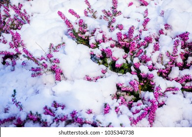 A beautiful purple and pink flower covered by snow in Paris, France, during winter before spring season. The flower started blooming in an extreme temperature. It grows in the park or garden.