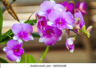 A Beautiful purple and pink Orchids flower on a branch hanging in the air.
