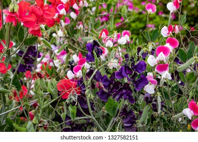 Beautiful Purple, Pink, and Red Sweet Pea Flowers in Bloom in a Country Garden outside of Amsterdam, Netherlands