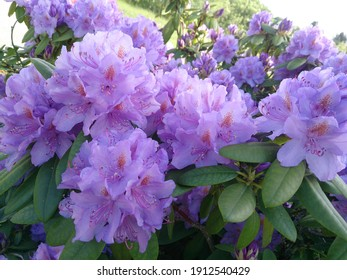 beautiful purple rhododendron flowers in the park