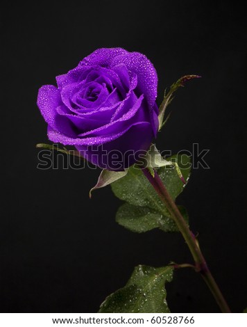 beautiful purple rose in a black background
