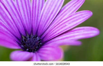 Beautiful  purple rose at spring.
