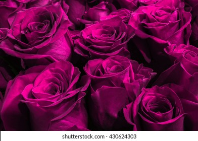 beautiful purple roses isolated on a black background. close-up. festive bouquet.
