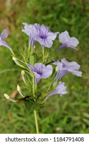 Beautiful purple ruellia tuberosa flower in green nature garden with leafs. Also known as  Cracker plant, Fever root, Meadow weed, Minnie root,Pink-striped, trumpet lily, Popping pod, Snapdragon root