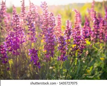 Beautiful purple sage flowers blooms in the summer meadow. Flower background.