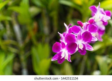 Beautiful purple Thai orchid is blooming in the garden. Agriculture idea concept design with copy space to add text.