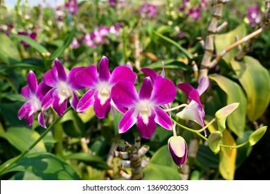 beautiful purple Thai purple orchid flower in orchid farm