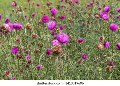 Beautiful purple thistle flower. Pink flower burdock. Burdock flower spiny close up. Flowering medicinal plants are thistle or milk thistle. Milk Thistle plant. Soft selective not deep focus