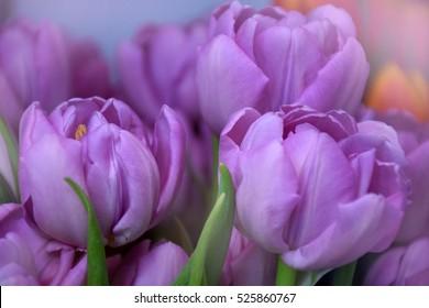 Beautiful purple tulip blooming in spring flowers blur background