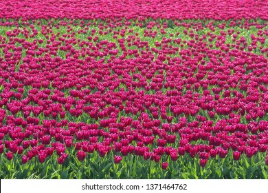 Beautiful purple tulips in a field in the Netherlands.