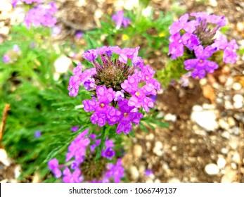 beautiful purple verbena wildflower.