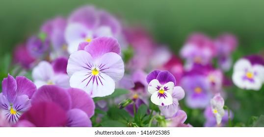 Beautiful purple Viola Flowers. Flowering purple pansies in garden, gentle floral background. Summer blossoming violas background. close up, copy space.