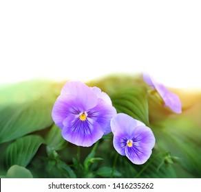 Beautiful purple Viola Flowers on white background. Flowering purple pansies, gentle floral background. blossoming violas background. copy space.