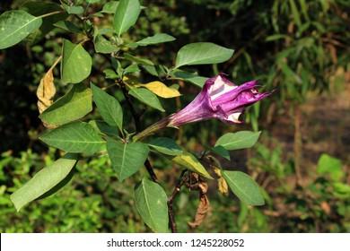 Beautiful Purple or violet fragrant Rare Datura( Datura metel 'Fastuosa') flower blooming, soft focus, defocused nature background