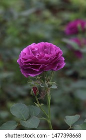 """Beautiful purple (violet) rose (grade """"Minerva"""") in Moscow garden at summer sunny day against background of bright greens. Inflorescence of flower closeup"""