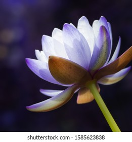Beautiful purple water lily  flower (lotus flower),square format.