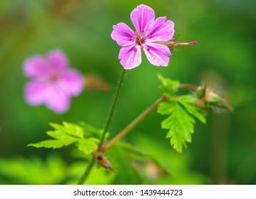 Beautiful purple wild forest flower. Geranium robertianum, or herb-Robert, red robin, death come quickly, storksbill, stinking Bob, squinter-pip, crow's foot, Roberts geranium