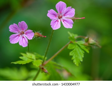 Beautiful purple wild forest flowers. Two flowers. Geranium robertianum, or herb-Robert, red robin, death come quickly, storksbill, stinking Bob, squinter-pip, crow's foot, Roberts geranium