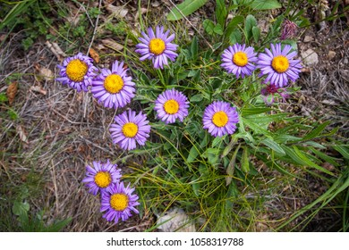 Beautiful purple wildflowers from above; Eurybia sibirica, commonly known as the Siberian aster or arctic aster, is an herbaceous perennial native to north western North America and northern Eurasia.