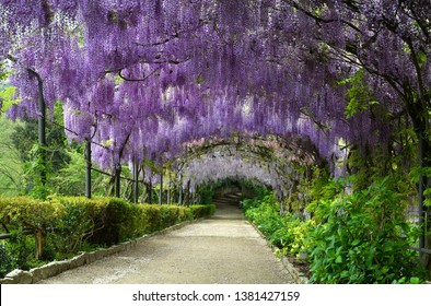 Beautiful purple wisteria in bloom. blooming wisteria tunnel in a garden near Piazzale Michelangelo in Florence, Italy.