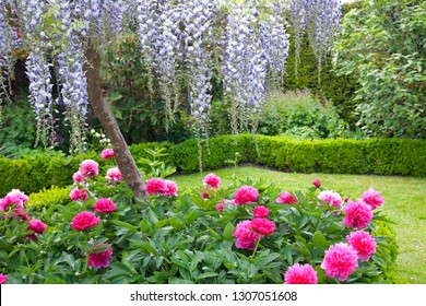 Beautiful Purple Wisteria and Bright Pink Peonies in an English Garden