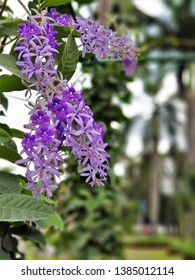 The beautiful purple wreath flower (Petrea Volubilis) blooming in the garden. It is one of the most distinct and beautiful of the cultivated climbers and has always been popular as a garden shrub.